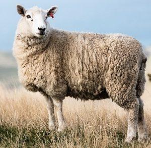 Qurbani-Sheep